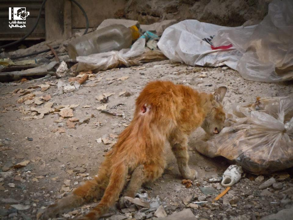 Save a Syrian Cat